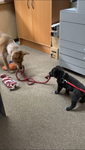 a dog and a small puppy, playing tug with a length of red rope